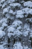 One snow covered spurce forest, close, vertical image Stock Image