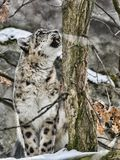 Snow Leopard, Uncia ounce with bared teeth. One Snow Leopard, Uncia ounce with bared teeth Royalty Free Stock Images
