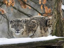 Snow leopard, Uncia uncia watches the surroundings. One Snow leopard, Uncia uncia watches the surroundings Royalty Free Stock Photos