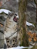 Snow leopard, Uncia uncia watches the surroundings. One Snow leopard, Uncia uncia watches the surroundings Royalty Free Stock Photography