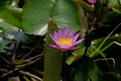 One soft magenta and yellow petal lotus at center with soft blur background. In pond stock photo