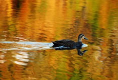 One solo duck swimming on golden lake Royalty Free Stock Photo
