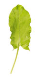 One sorrel leaf Royalty Free Stock Image