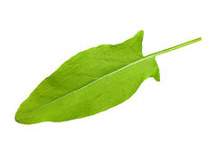 One sorrel leaf. Isolated on white background royalty free stock image