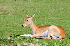 One Southern Lechwe antelope resting - side view Royalty Free Stock Photography