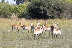 Southern lechwe, Kobus leche, Moremi National Park, Botswana royalty free stock photo
