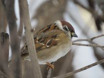 One Sparrow on a branch. Winter. Tree. Frost royalty free stock image