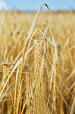 One spica in yellow wheat field Stock Images
