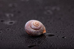 One spiral snail shell on black mirror wet surface. abstraction Stock Image