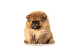 One spitz puppy on white Royalty Free Stock Photography