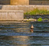One spot-billed duck standing alone. In shallow water of a river near a bridge pylon Royalty Free Stock Images