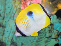 One spot butterflyfish Royalty Free Stock Photography
