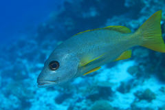 One-spot snapper fish Stock Photos