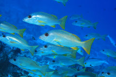 One-spot snapper fish Stock Image