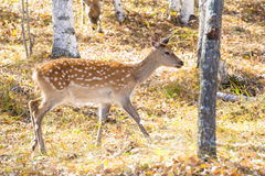 One spotted deer Stock Image