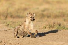 One spotted Hyena in the Serengeti, Tanzania. One sub adult spotted Hyena in the Serengeti, Tanzania Stock Photos
