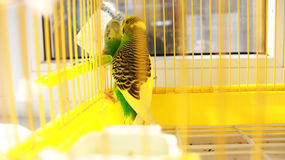 One spotted a parrot in a cage looking at himself in an old mirror. One beautiful spotted a parrot in a cage looking at himself in an old mirror Royalty Free Stock Photo