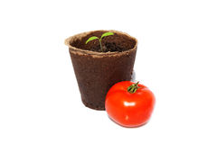 One sprout of tomato and the same vegetable Stock Photo