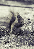 One squirrel in black and white and closeup. This picture shows a squirre in black and white. The beautifull animal is in focus. this foto is shot in bavaria royalty free stock photo