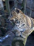 Sri Lanka Leopard, Panthera pardus kotiya, looks around. One Sri Lanka Leopard, Panthera pardus kotiya, looks around Royalty Free Stock Image