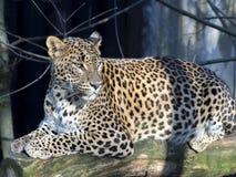 Sri Lanka Leopard, Panthera pardus kotiya, looks around. One Sri Lanka Leopard, Panthera pardus kotiya, looks around Royalty Free Stock Images