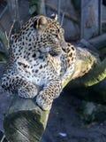 Sri Lanka Leopard, Panthera pardus kotiya, looks around. One Sri Lanka Leopard, Panthera pardus kotiya, looks around Royalty Free Stock Photo