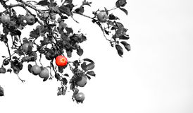 One standing out from the crowd concept colored apple among grey Royalty Free Stock Photos