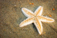 One starfish on a tropical sea beach. One starfish on wet sand of a tropical sea beach Stock Photos