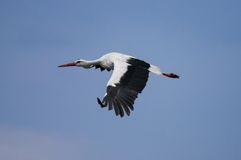 One stork flying in the sky Stock Photo
