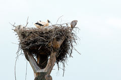 One stork in a nest Stock Photo