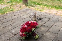 One stray cat sneaks up to the red wedding bouquet from dahlias lies on the wooden. Wedding Stock Photo