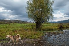 One stray dog walks along the shore of a stream on the bank of which grows a lonely tree against the backdrop of a village fence a. Stray dog walks along the royalty free stock images