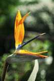 One Strelitzia reginae flower Stock Images