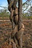 Strong liana tree encircles, Zambia. One Strong liana tree encircles, Zambia Stock Photos