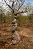 Strong liana tree encircles, Zambia. One Strong liana tree encircles, Zambia Stock Image