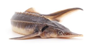 One sturgeon fish. Royalty Free Stock Images