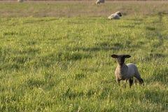 One Suffolk Lamb Stock Photo