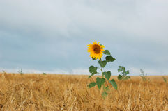 One sunflower Royalty Free Stock Images