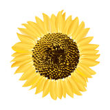 One sunflower. Vector available Vector Illustration