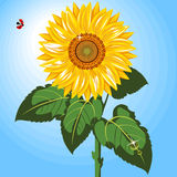 One Sunflower. Beautiful sunflower  against  blue sky.  Ladybird Stock Image