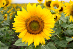 One sunflower Royalty Free Stock Image