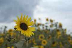 One sunflower Stock Photo