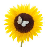 One sunflower and butterfly Stock Image