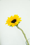 One  sunflower in the clear vase. On the white background blooming one sunflower in the center of the image with open yellow and green petals Stock Photography