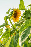 One sunflower among green lieves Stock Photo