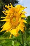 One sunflower Royalty Free Stock Photo
