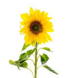 One sunflower isolated on white. One Yellow sunflower in studio Royalty Free Stock Image