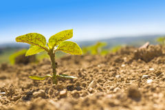 One sunflower in the land Stock Photography