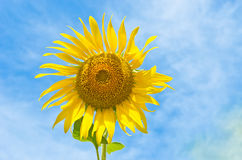 One sunflower in the sky. One sunflower and leaf in blue cloud sky Stock Photos