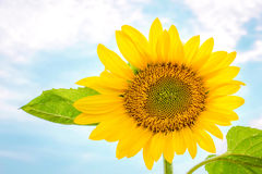 One sunflower. Yellow head, blue sky Stock Images